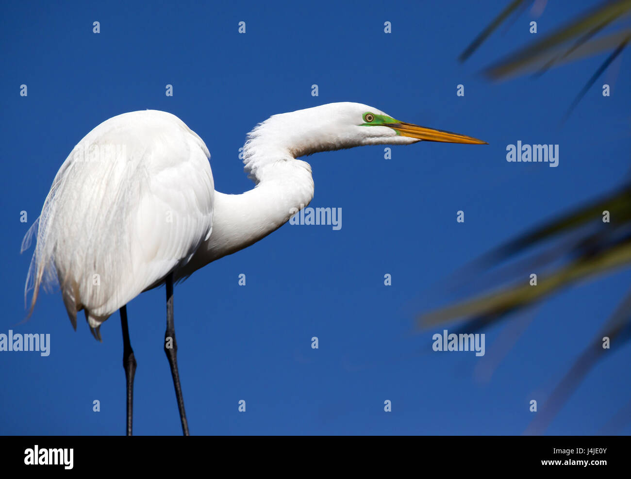 Great white heron poses in profile with green breeding stripe Stock Photo