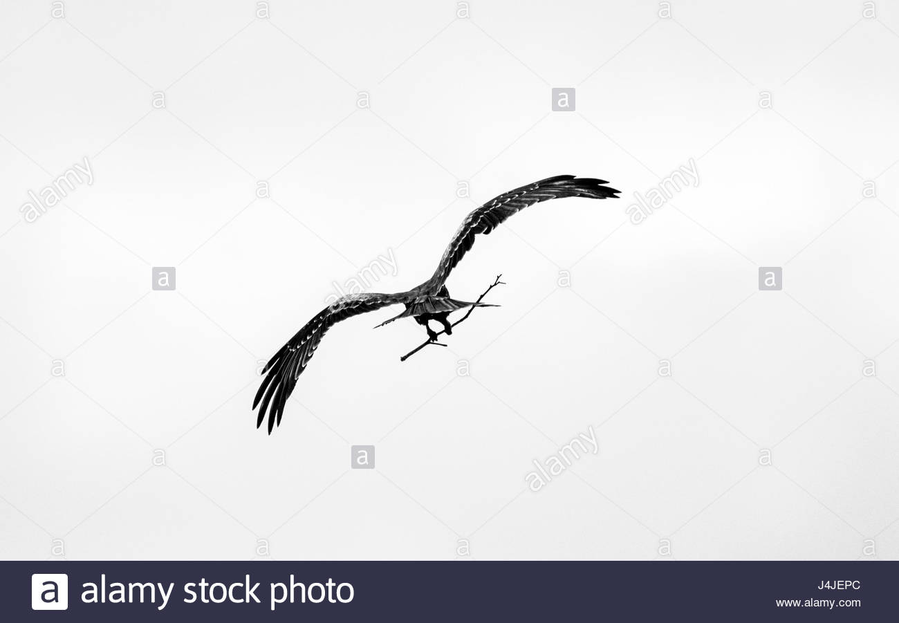 A Black Kite gathering twigs for its nest. - Stock Image