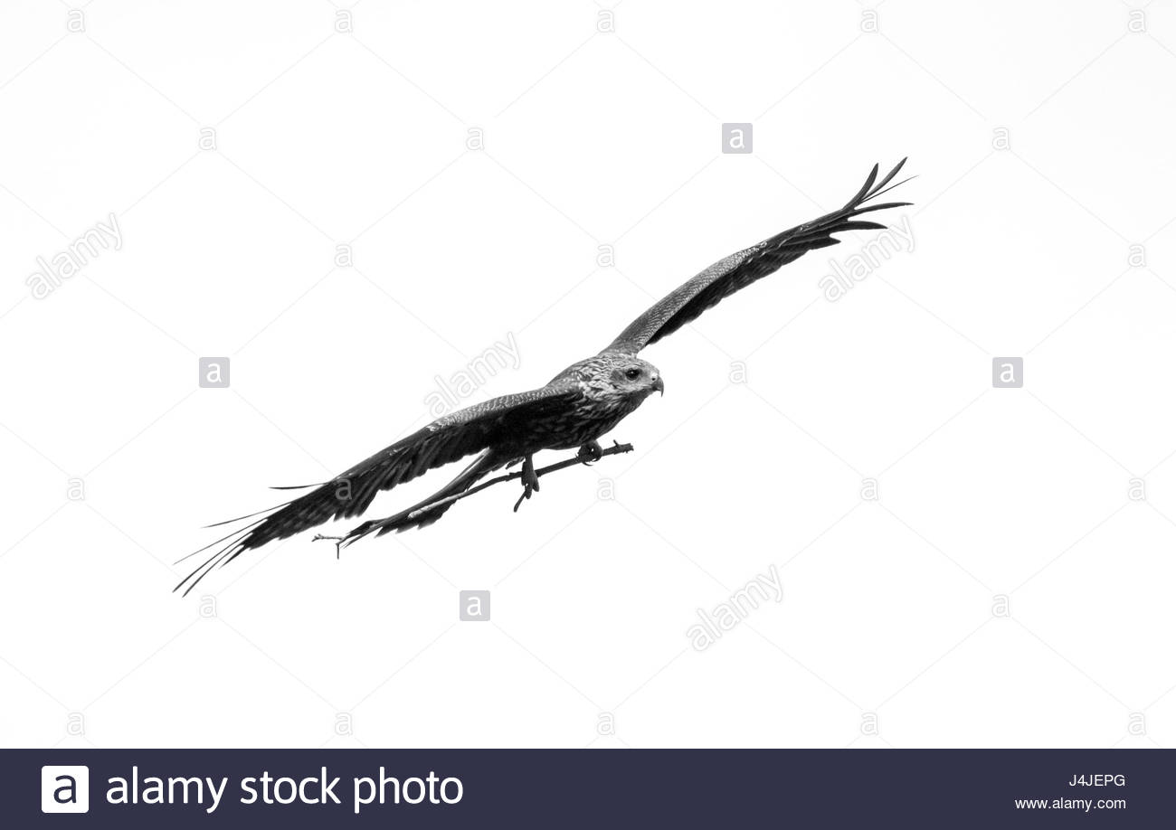 a Black Kite with a twig in its claws - Stock Image
