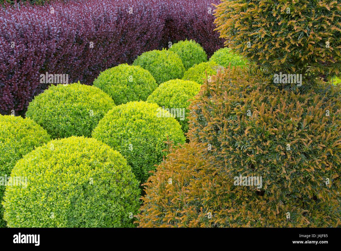Box globes;yew; and purple Berberis hedging - Stock Image