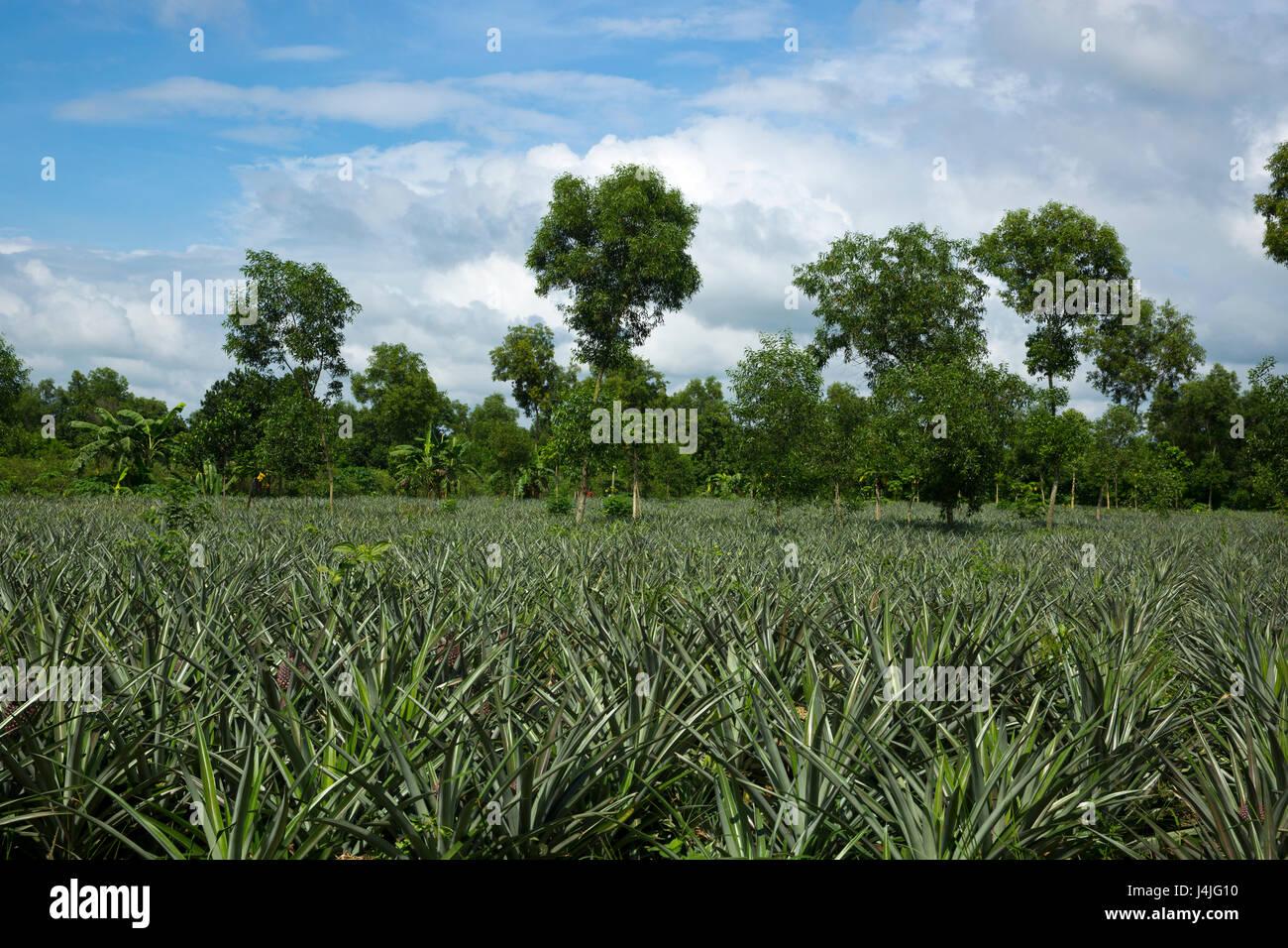 Pineapple plantation at Modhupur in Tangail. Bangladesh - Stock Image