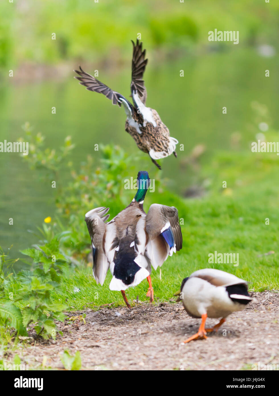 Anas platyrhynchos. Adult Drake Mallard ducks chasing each other as they take off and fly away over water, in West - Stock Image