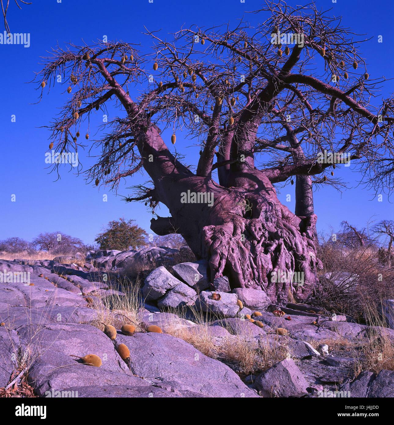 Africa, Botswana, Makgadikgadi, baobab wild nature reserve, Sowa Pan, Kubu Iceland, entries in accordance with. - Stock Image
