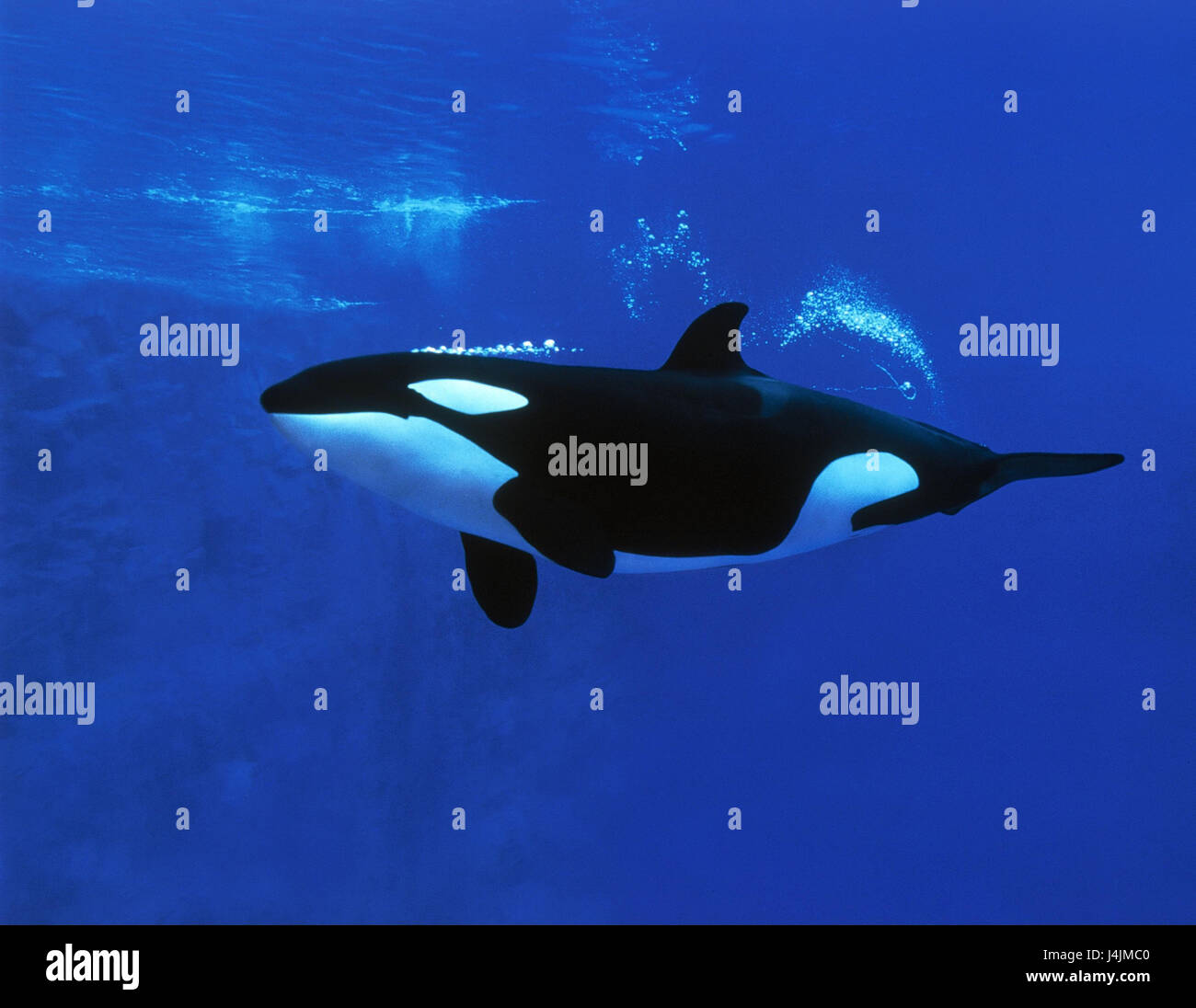 Underwater recording, killer whale, Orcinus orca, dip mammals, mammal, toothed whales, cog wood, Odontoceti, scab - Stock Image