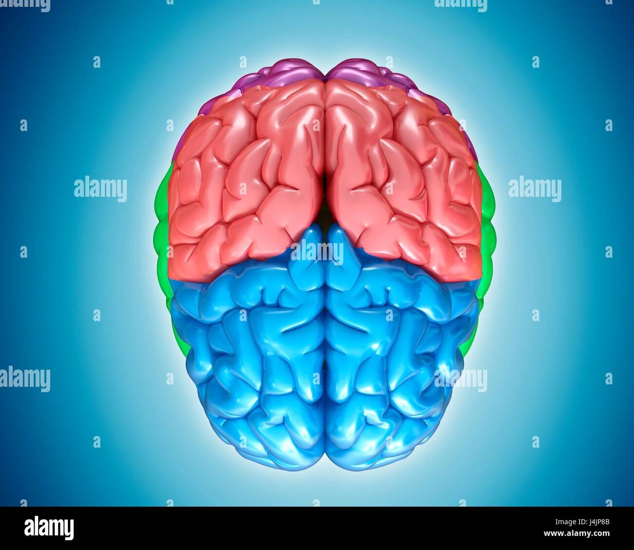 Illustration Of Human Brain Anatomy Stock Photo 140554187 Alamy