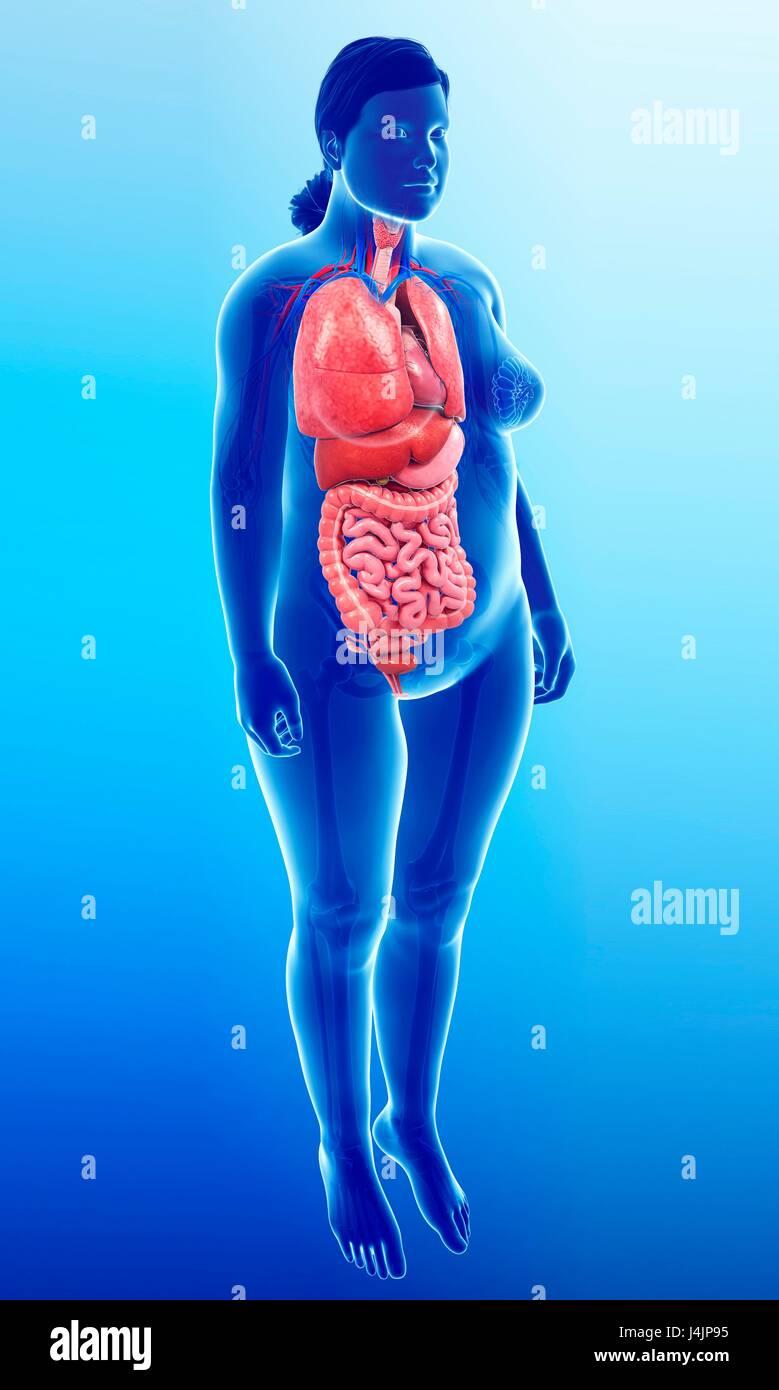 Illustration Of Female Internal Organs Stock Photo 140554209 Alamy