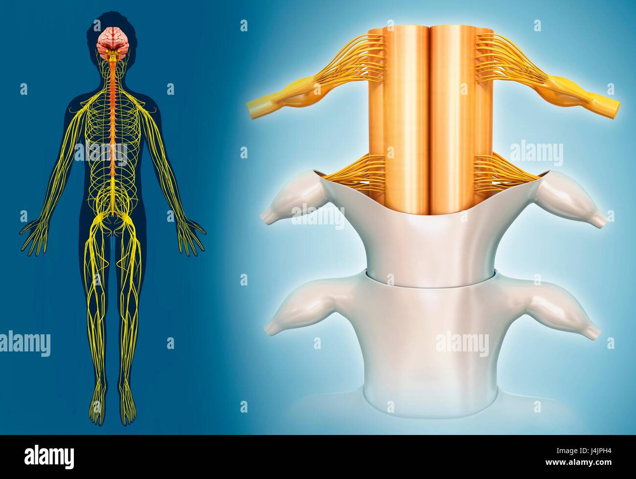 Illustration of spinal cord anatomy Stock Photo: 140554432 - Alamy