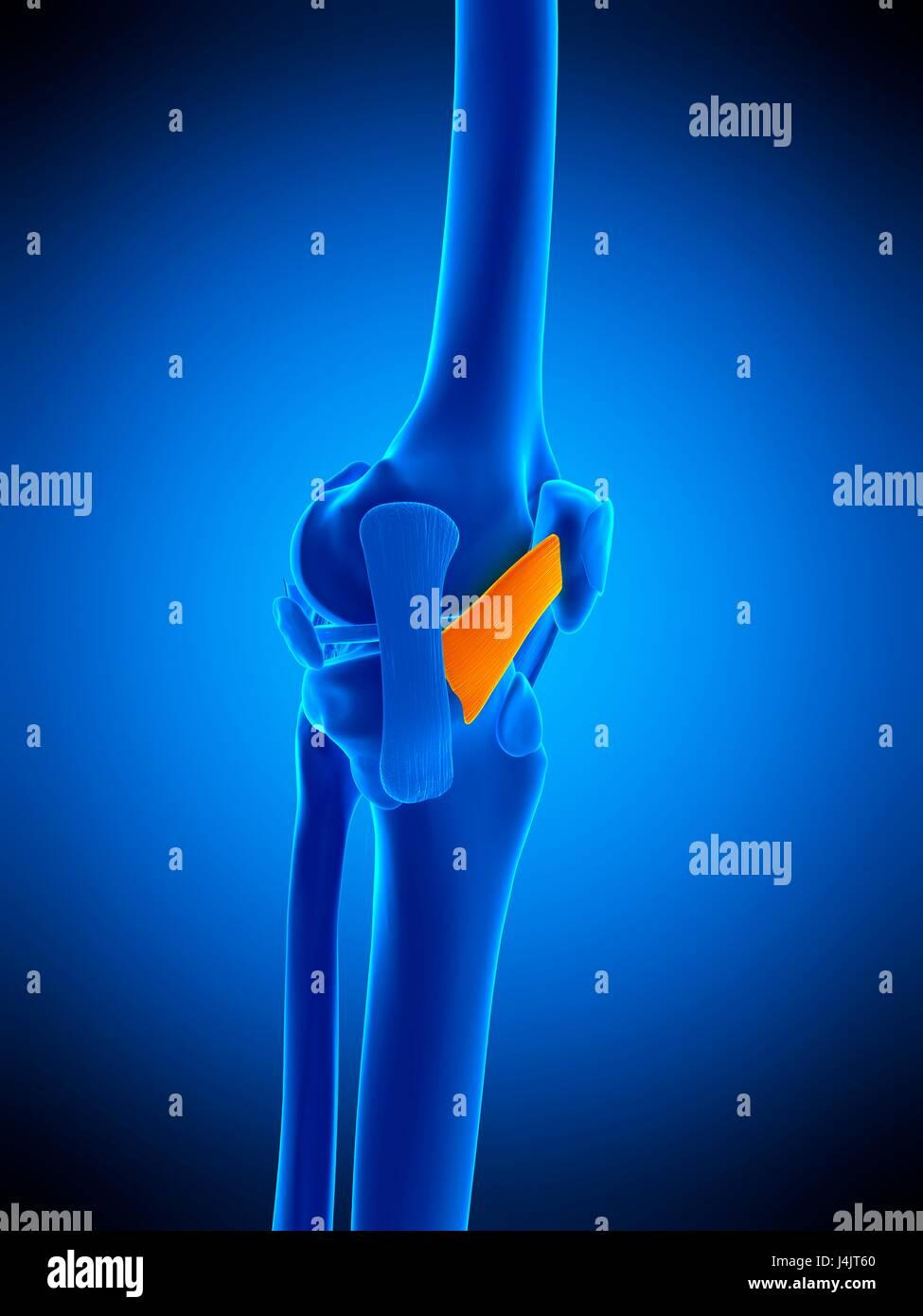 Illustration Of The Medial Patellar Ligament Stock Photo 140555688