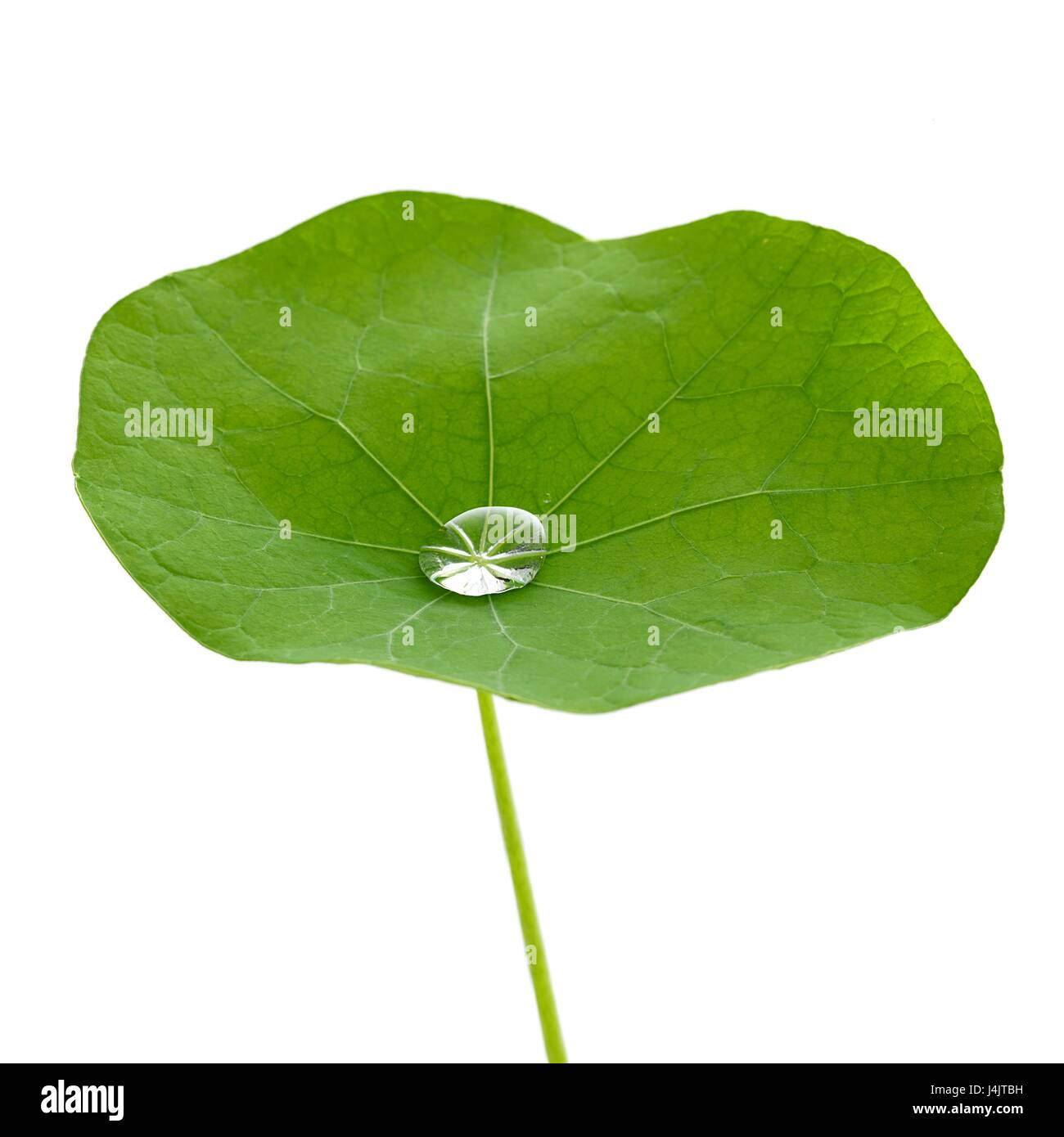Nasturtium leaf with water droplet. - Stock Image