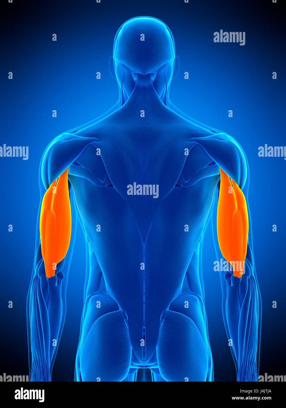 Illustration Of The Triceps Muscle Stock Photo 140556034 Alamy