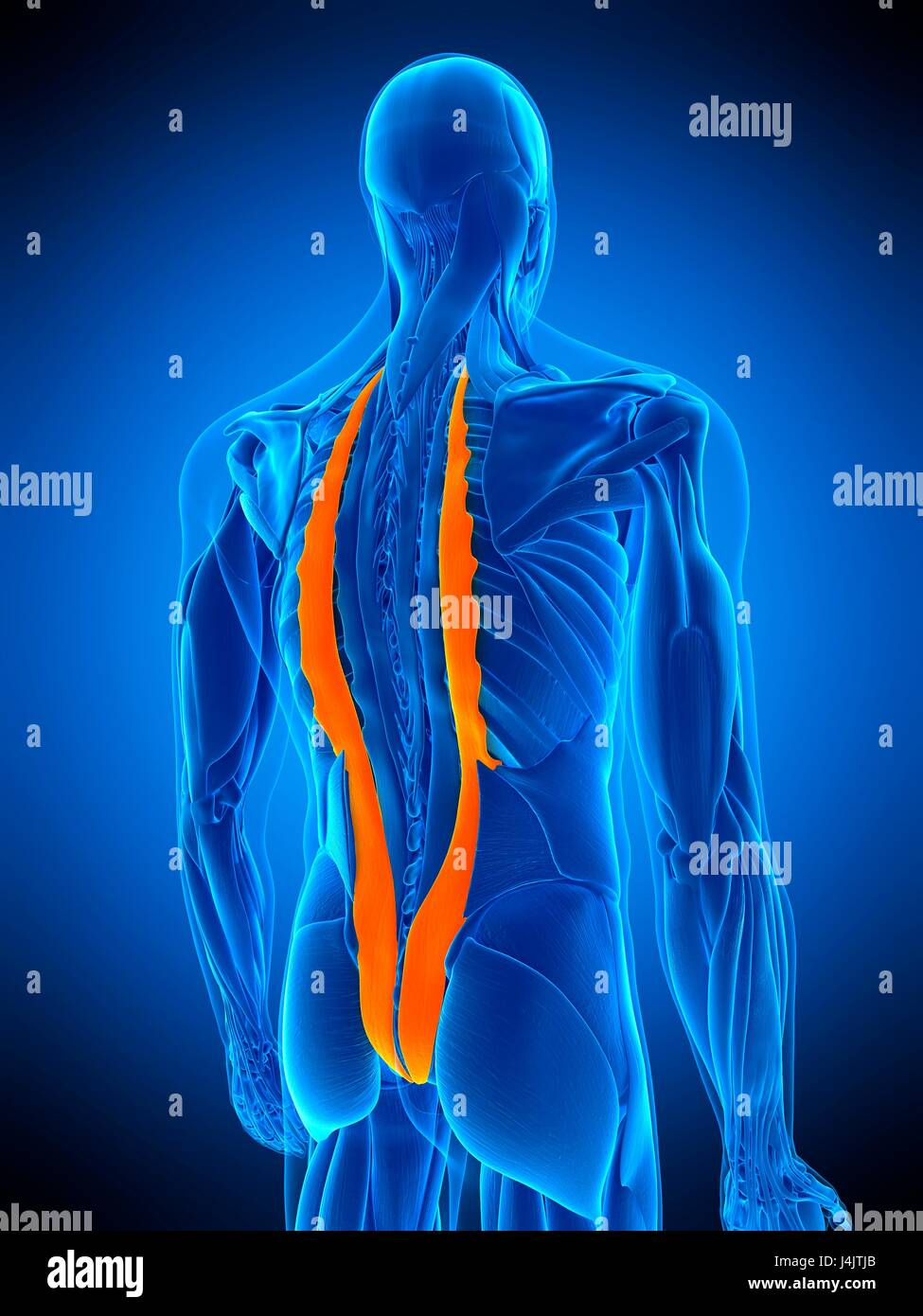 illustration of the iliocostalis muscle stock photo 140556035 alamy