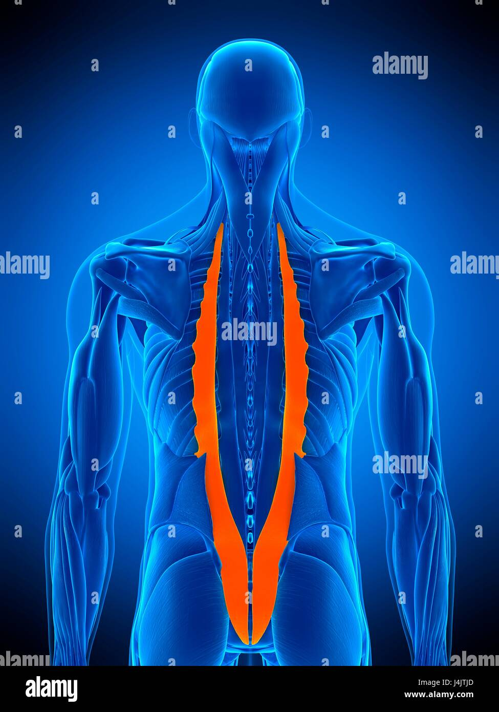 illustration of the iliocostalis muscle stock photo 140556037 alamy
