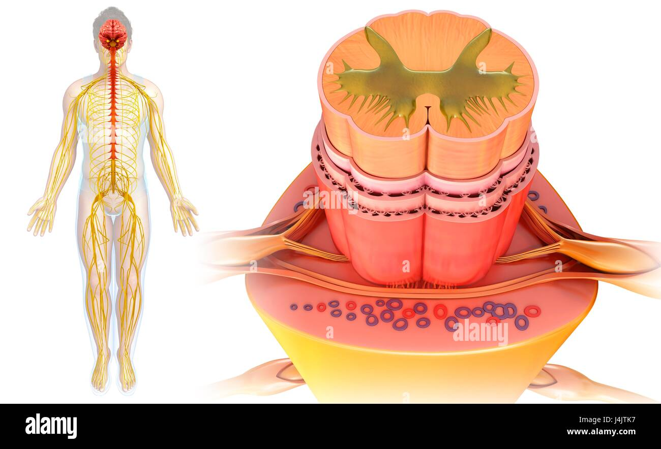 Illustration Spinal Cord Anatomy Cross Section Stock Photos