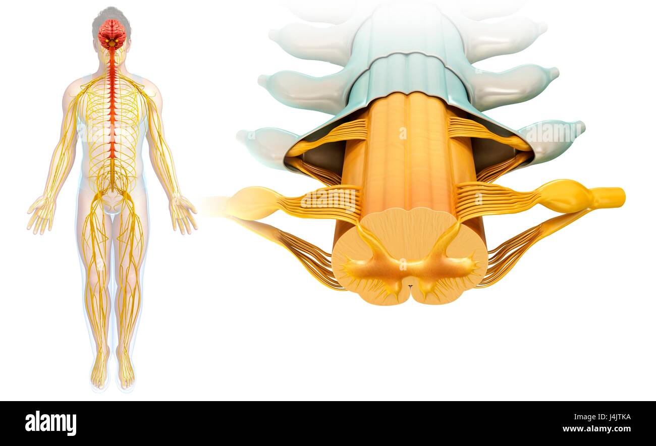 Illustration Of A Spinal Cord Cross Section Stock Photo 140556062