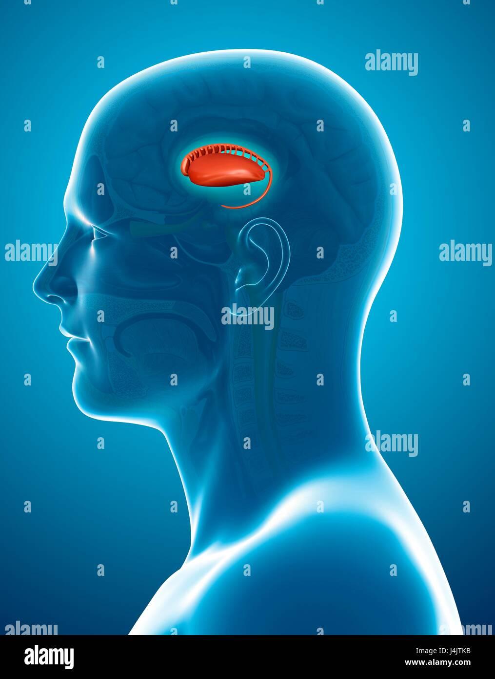 caudate nucleus in the brain stock photos caudate nucleus in the