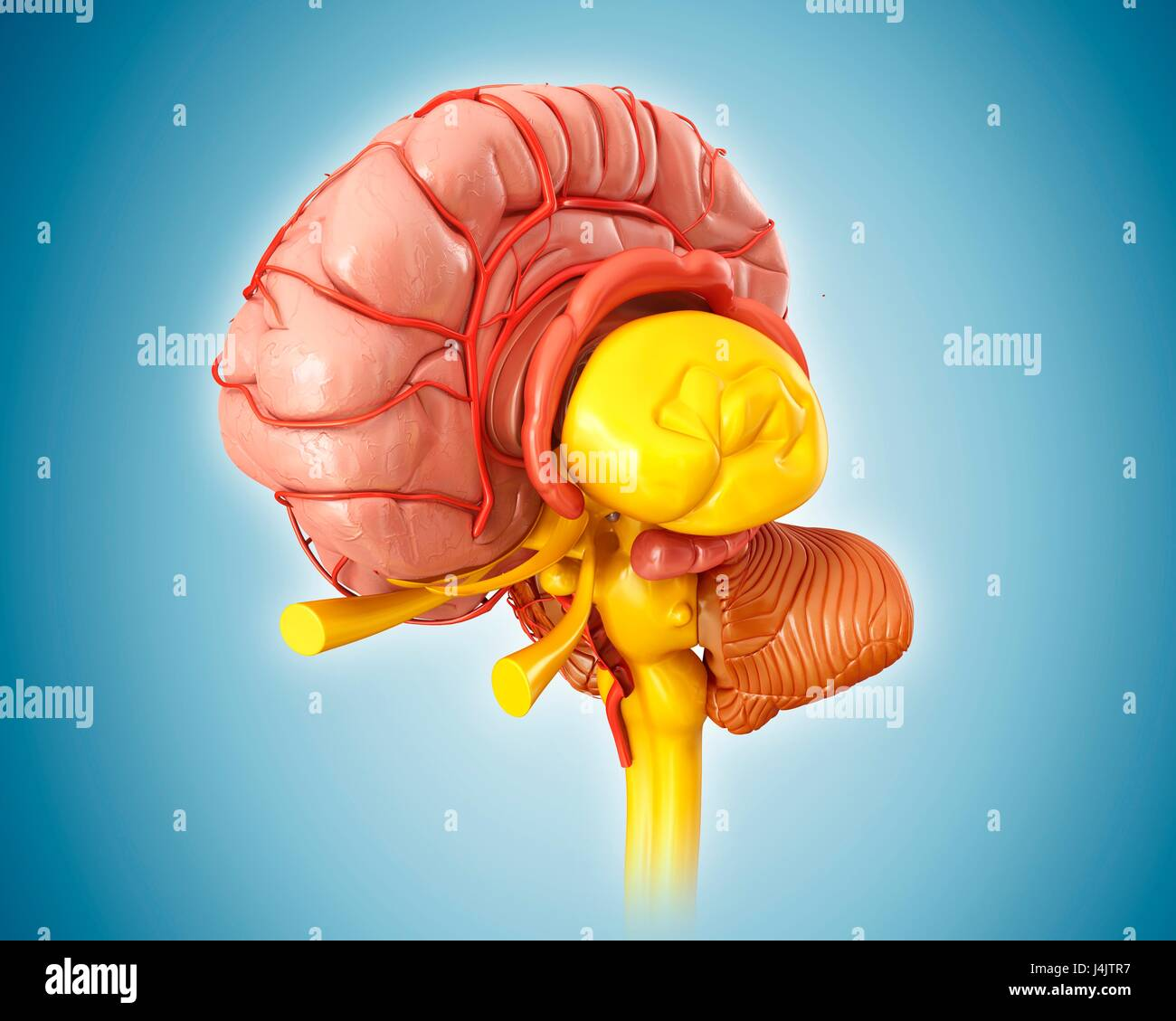 Human Brain Anatomy And Arteries Stock Photos Human Brain Anatomy