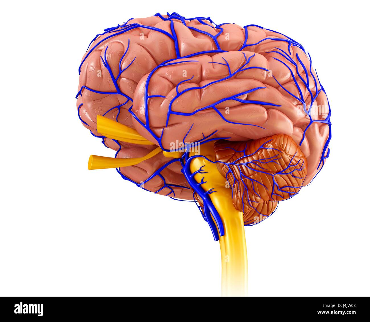 Brain Veins And Anatomy Stock Photos & Brain Veins And Anatomy Stock ...