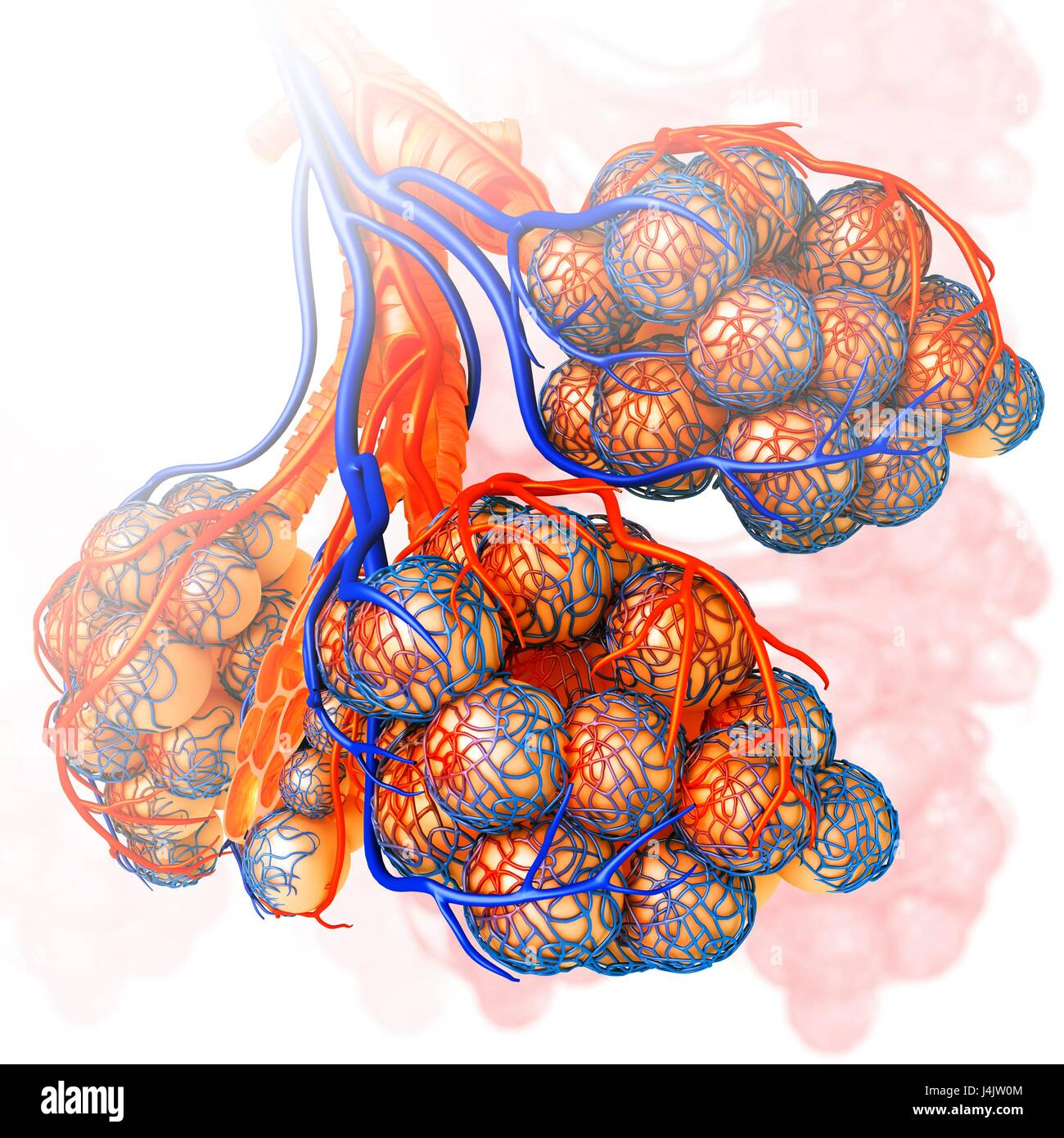 Illustration of the capillaries and alveoli of the lungs Stock Photo ...