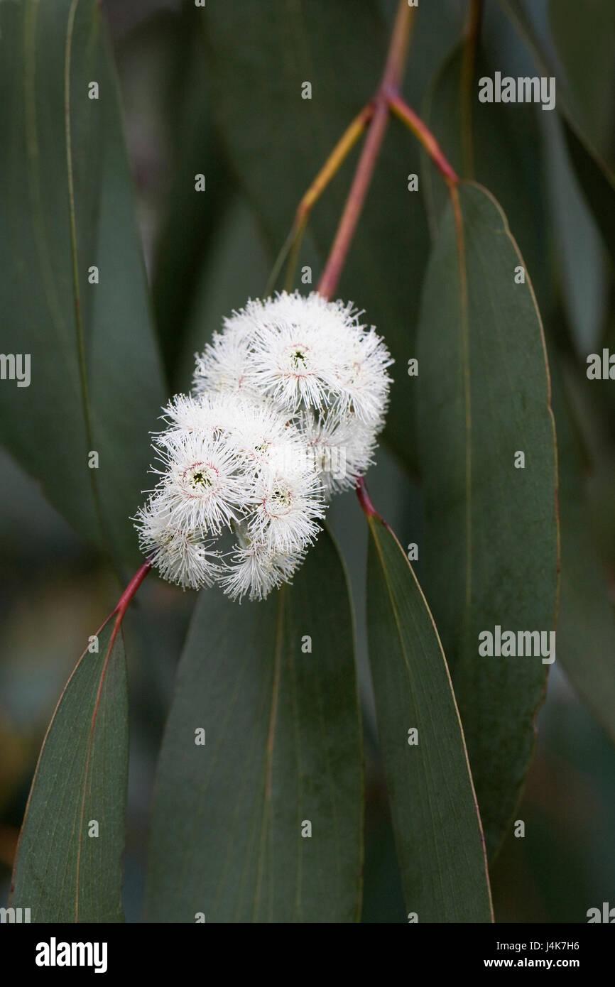 Eucalyptus pauciflora subsp. debeuzevillei flowers in Spring. - Stock Image