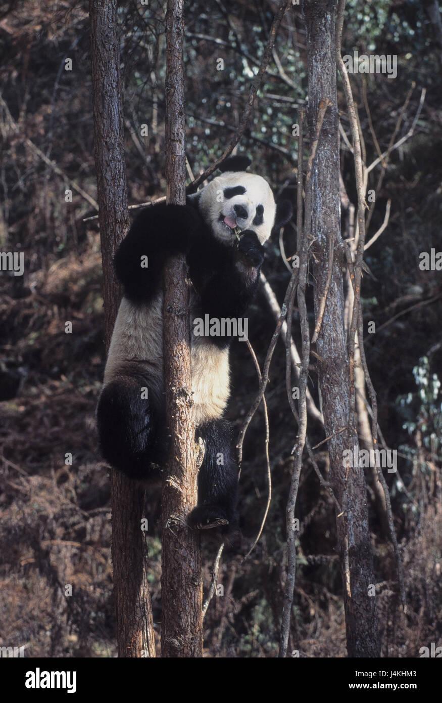 Wood, tree, big panda, Ailuropoda melanoleuca, ingestion animal world, wilderness, Wildlife, animals, animal, mammals, - Stock Image