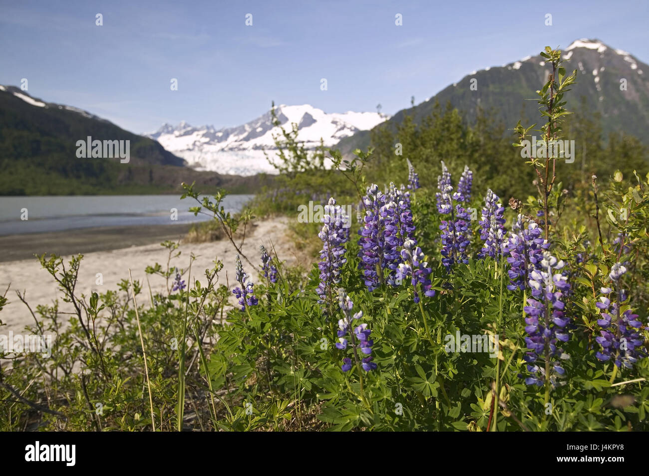 The USA, Alaska, Inside passage, Juneau, Mendenhall brine, shore, lupins, blossom North America, the United States - Stock Image