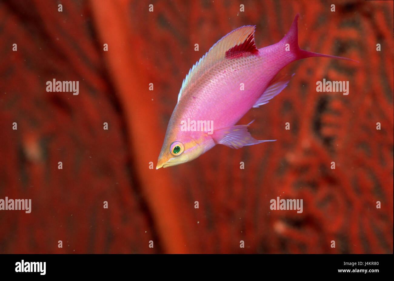 Tuka-flag perch, Pseudanthias tuka, coral, close up Stock Photo