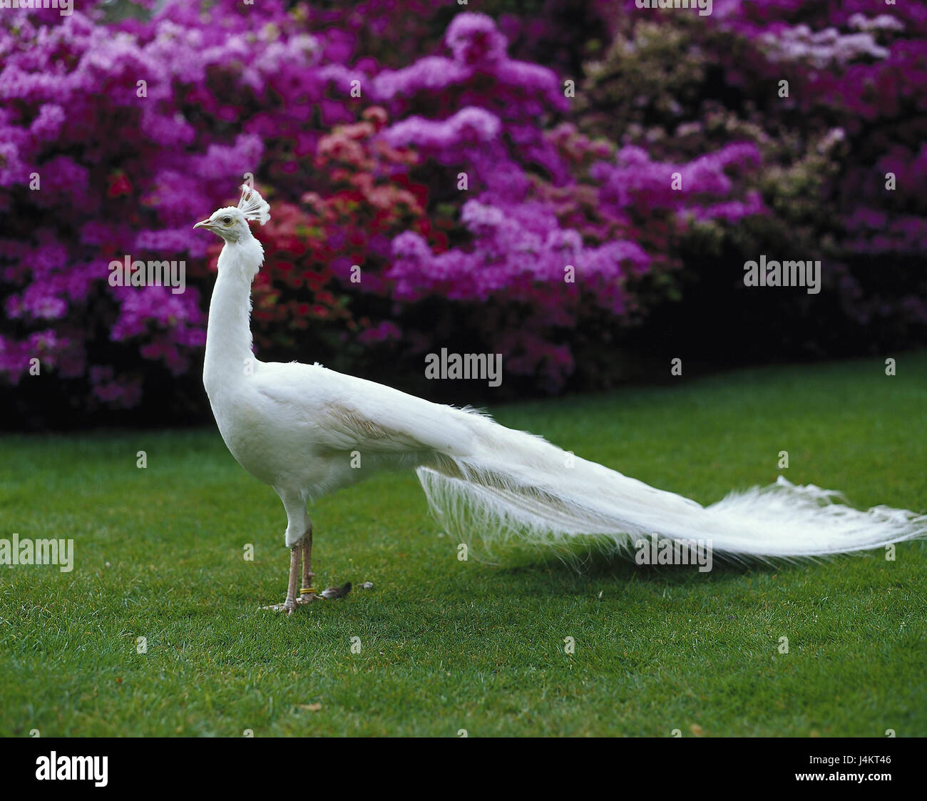 White peacock, Pavo cristatus. alb, preview birds, Vogel, gallinaceous birds, Galliformes, Phasianidae, Phasianidae, - Stock Image