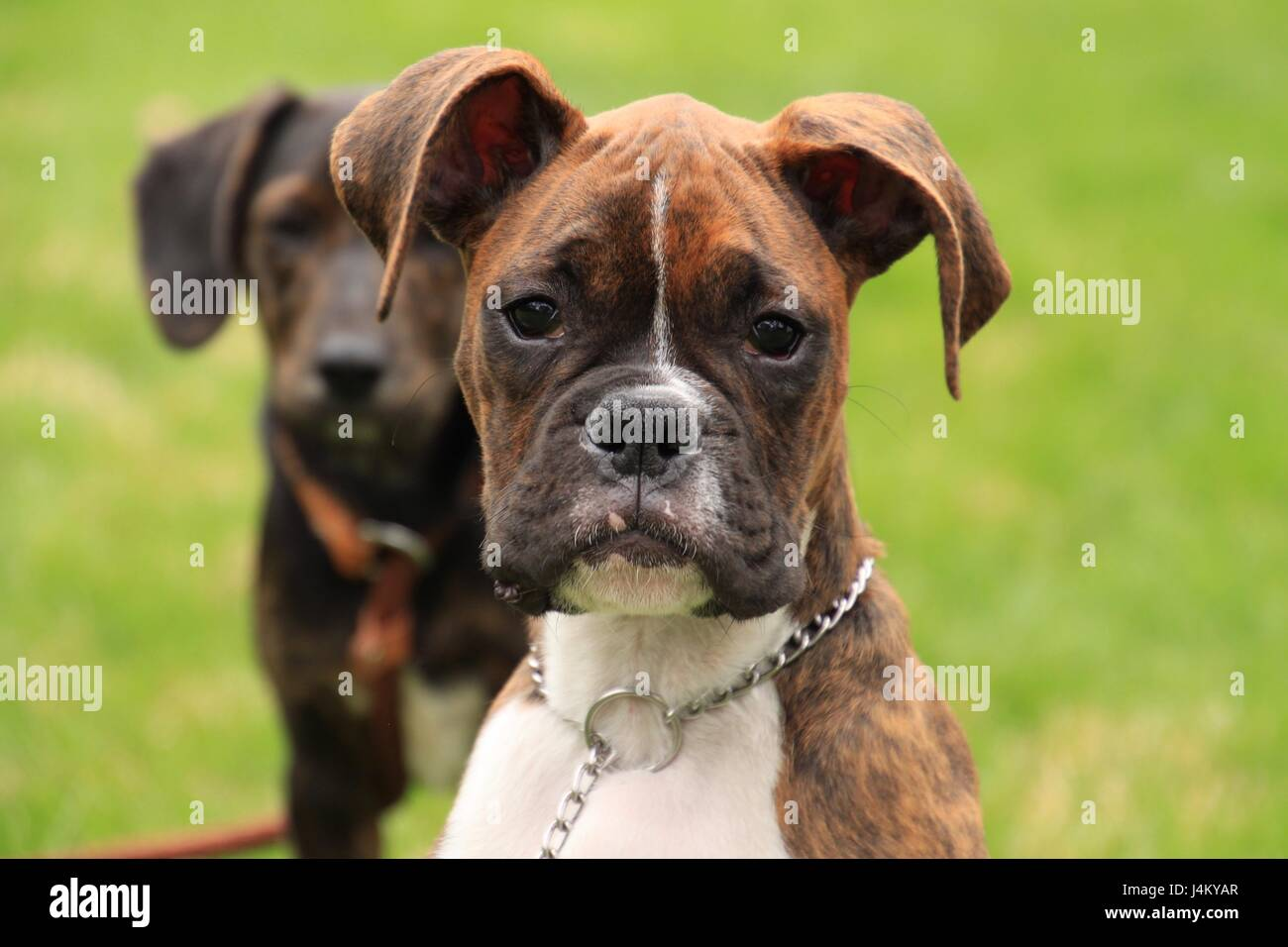 Beautiful brindle boxer puppy enjoying the new spring season - Stock Image