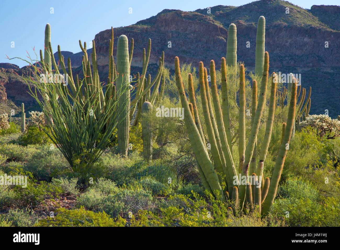 Desert with saguaro and organ pipe cactus along Ajo Mountain Drive, Organ Pipe Cactus National Monument, Arizona - Stock Image