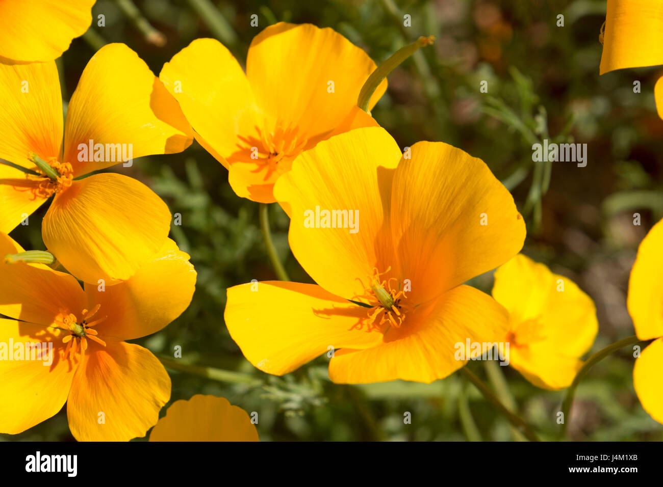 Mexican poppies along Ajo Mountain Drive, Organ Pipe Cactus National Monument, Arizona - Stock Image