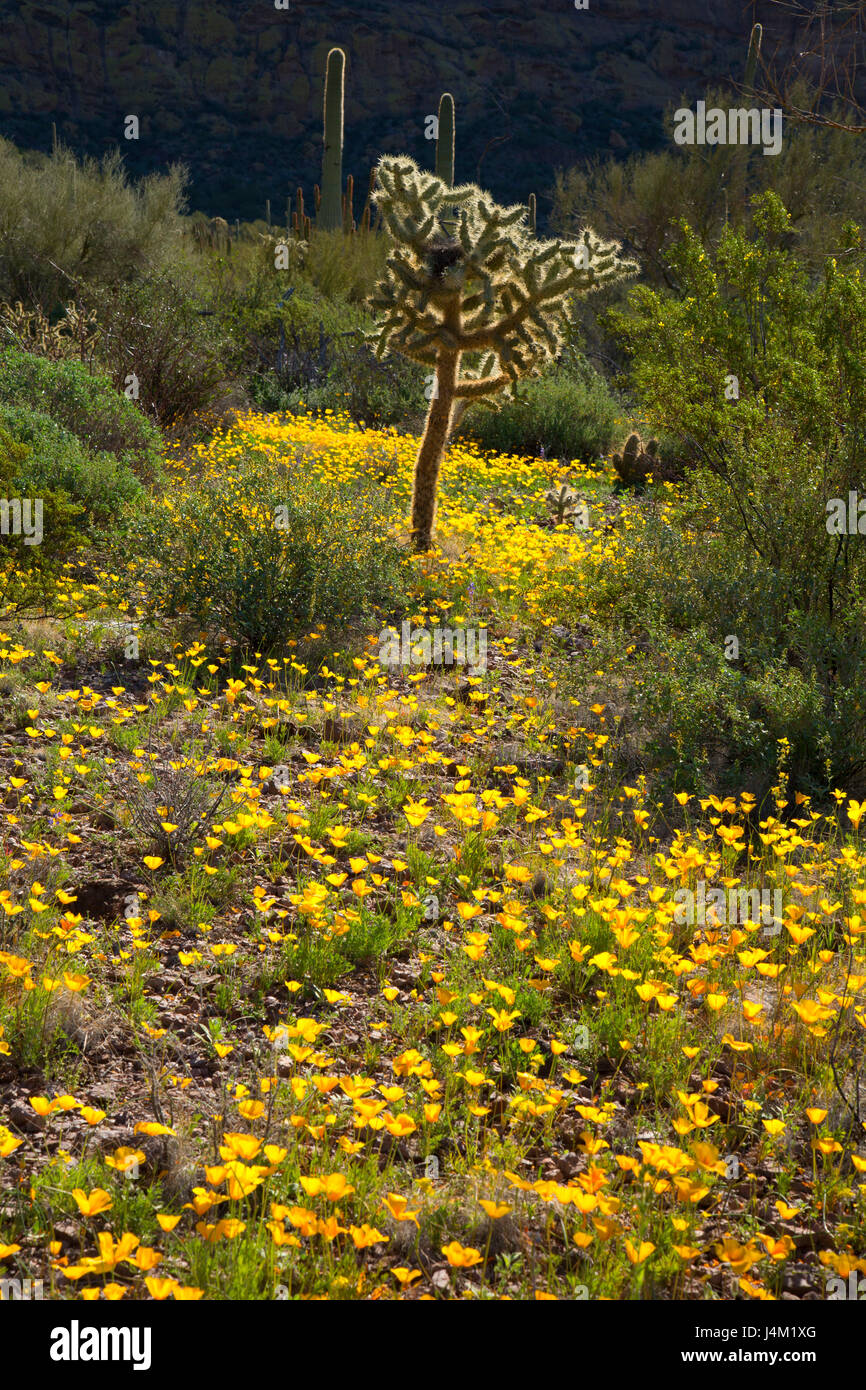 Mexican poppies with cholla cactus along Ajo Mountain Drive, Organ Pipe Cactus National Monument, Arizona - Stock Image