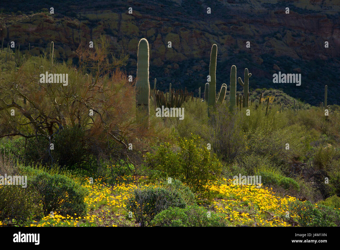 Desert with mexican poppies along Ajo Mountain Drive, Organ Pipe Cactus National Monument, Arizona - Stock Image