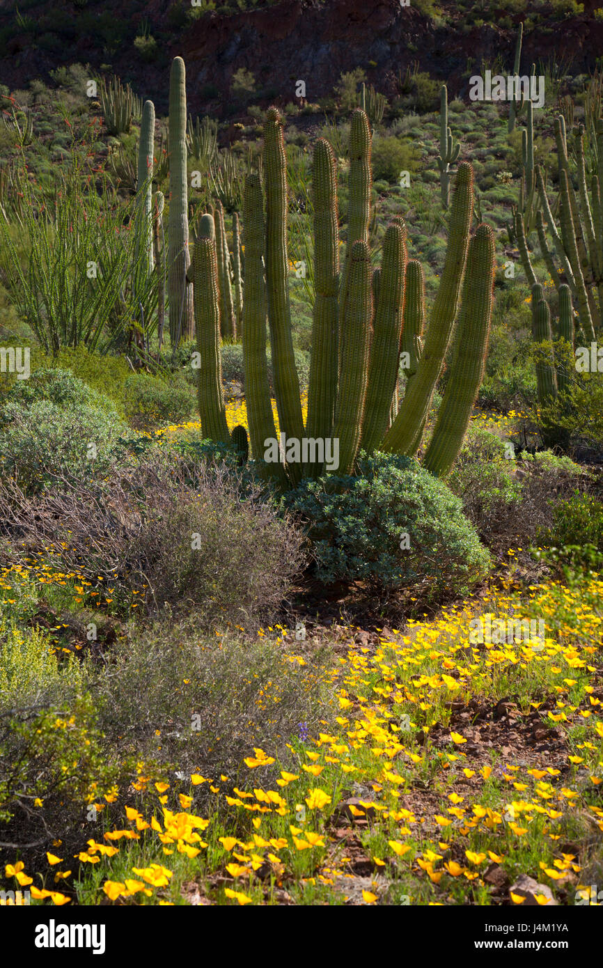 Mexican poppies with organ pipe cactus along Ajo Mountain Drive, Organ Pipe Cactus National Monument, Arizona - Stock Image