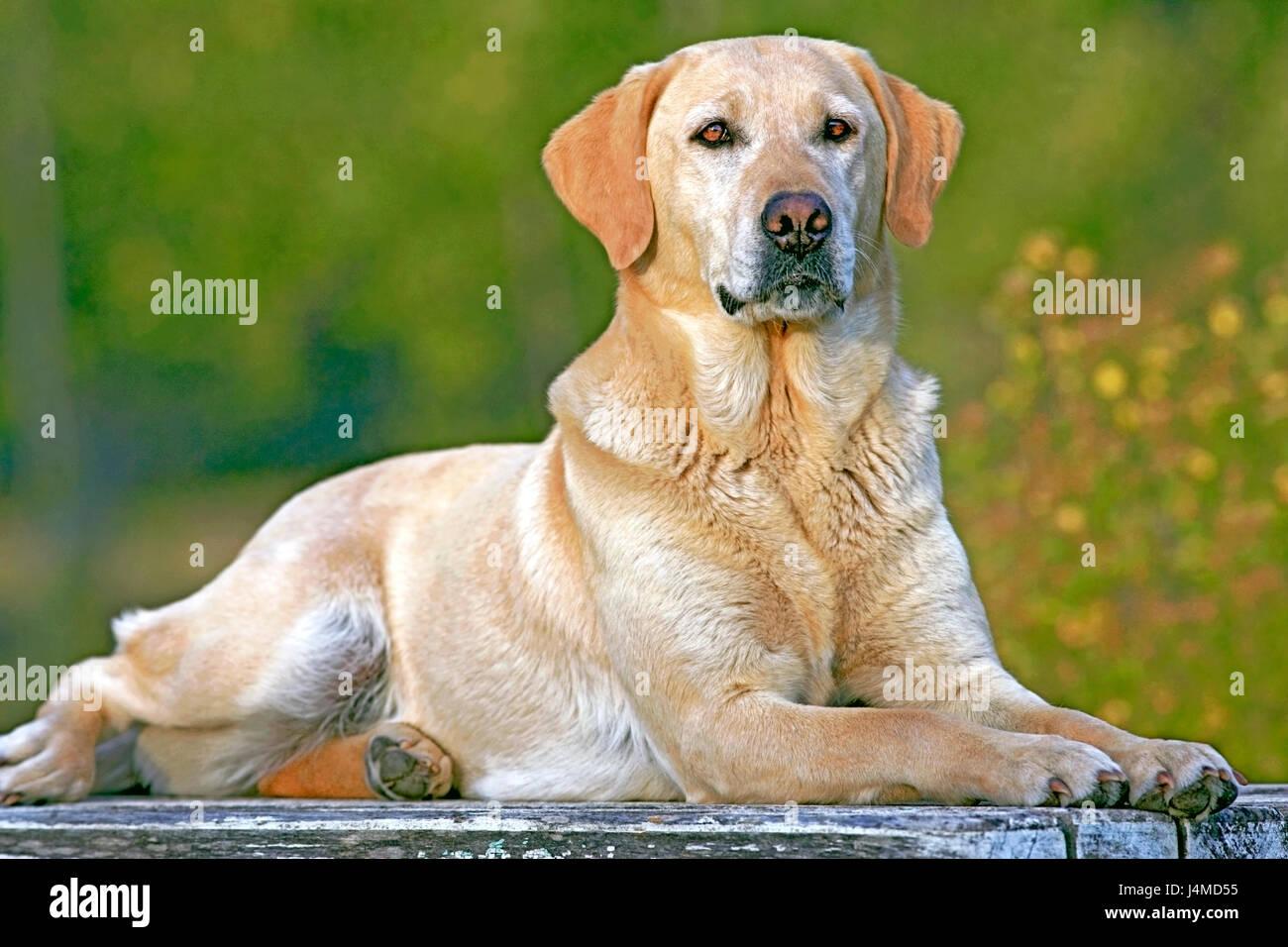 Yellow Labrador Retriever laying outside, watching - Stock Image