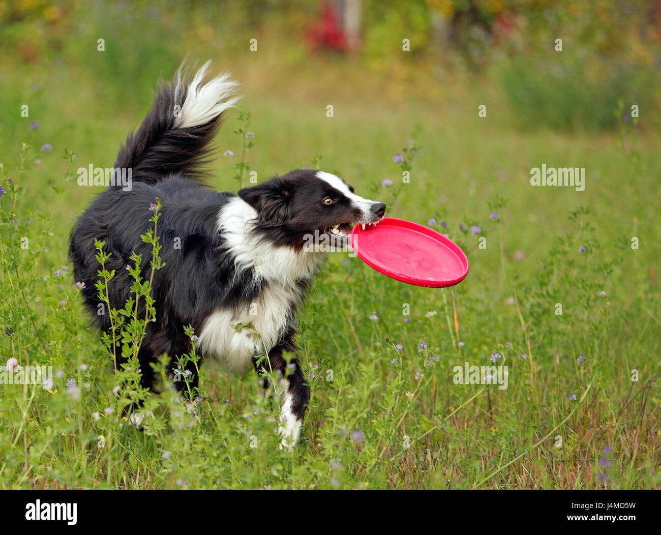 Border Collie in meadow fetching toy. - Stock Image