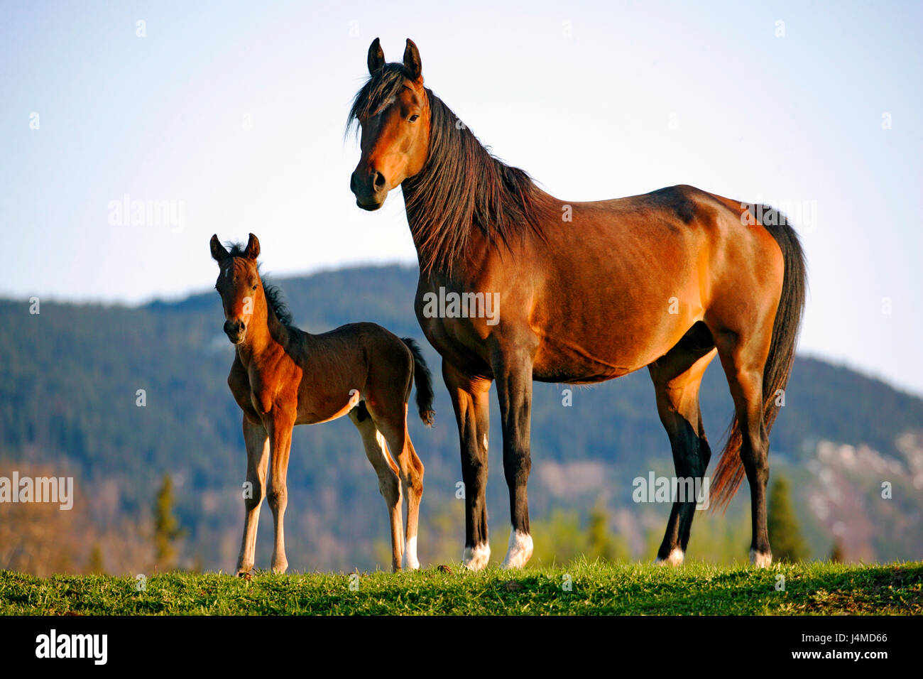Purebred Bay Arabian Mare with few week old Foal standing together at pasture. - Stock Image