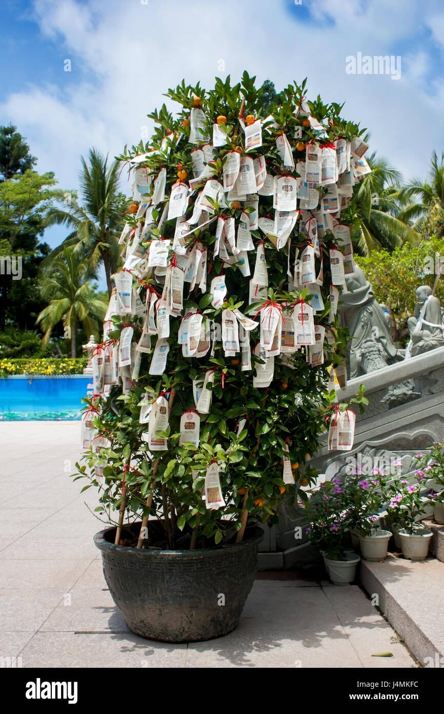 mandarin tree with ritual ribbons in the center of Buddhism Nanshan in Hainan Stock Photo