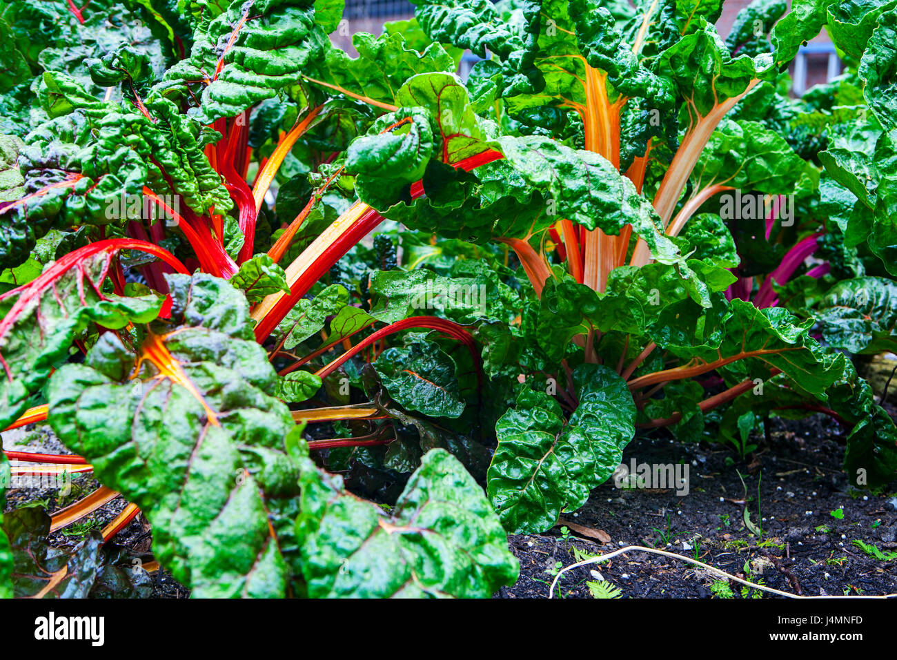 Colorful chard growing at the allotment - Stock Image