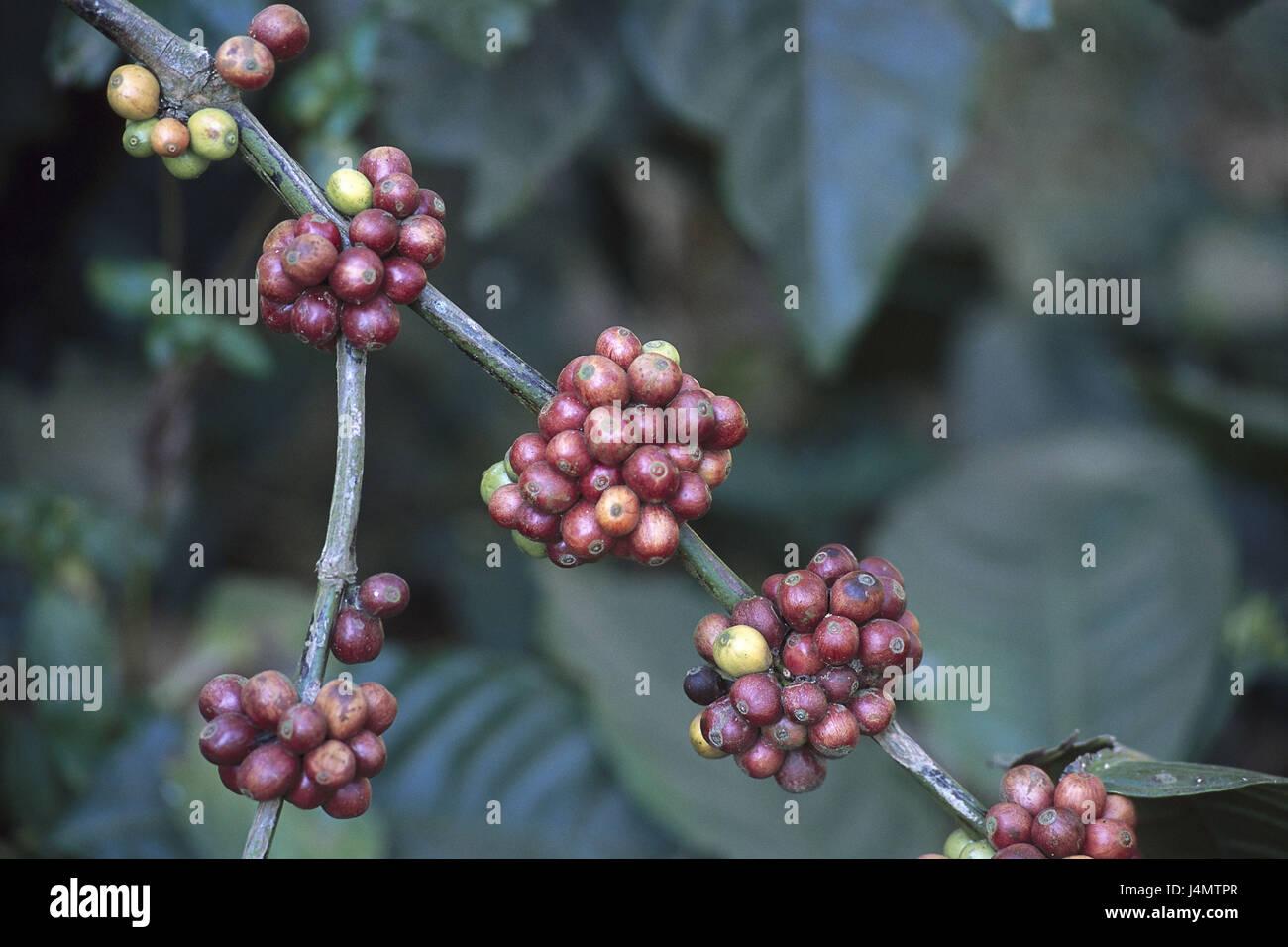 Coffee tree, branch, beans, detail Asia, South Asia, Hindi Bharat, India, Südindien, Kerala, Periyar, plant, - Stock Image