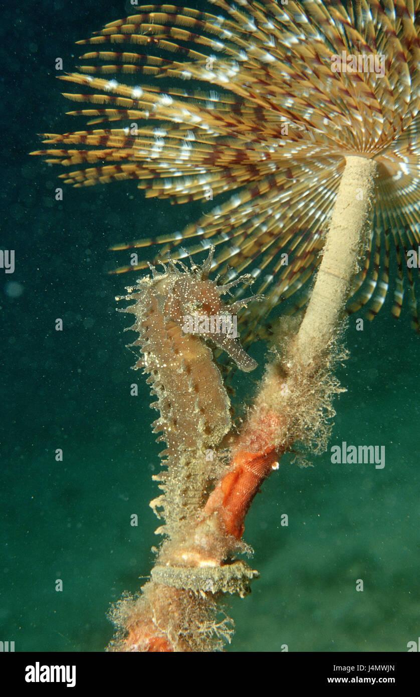 Langschnäuziges seahorse, Hippocampus guttulatus, tube worm Stock Photo