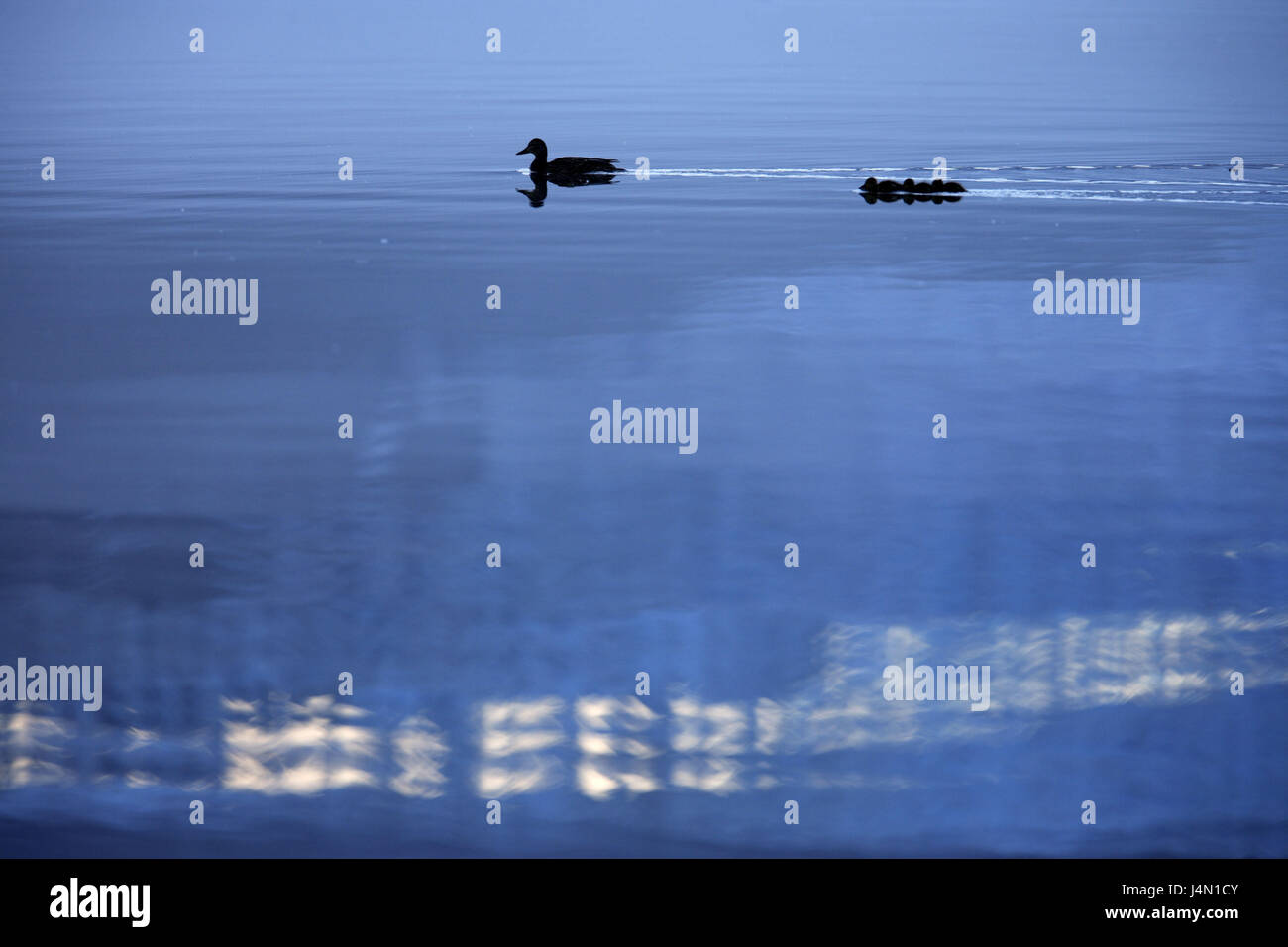 The USA, Alaska, Juneau, Mendenhall brine, silhouette, ducks, - Stock Image