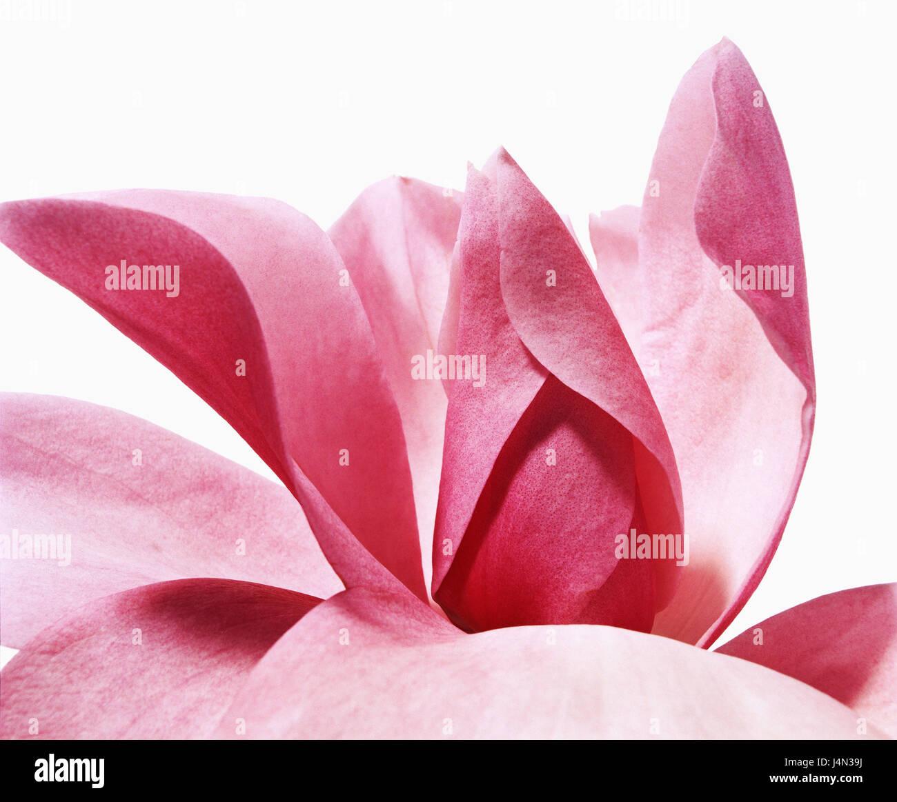 Magnolia, Magnolia campbellii - seedling, Stock Photo
