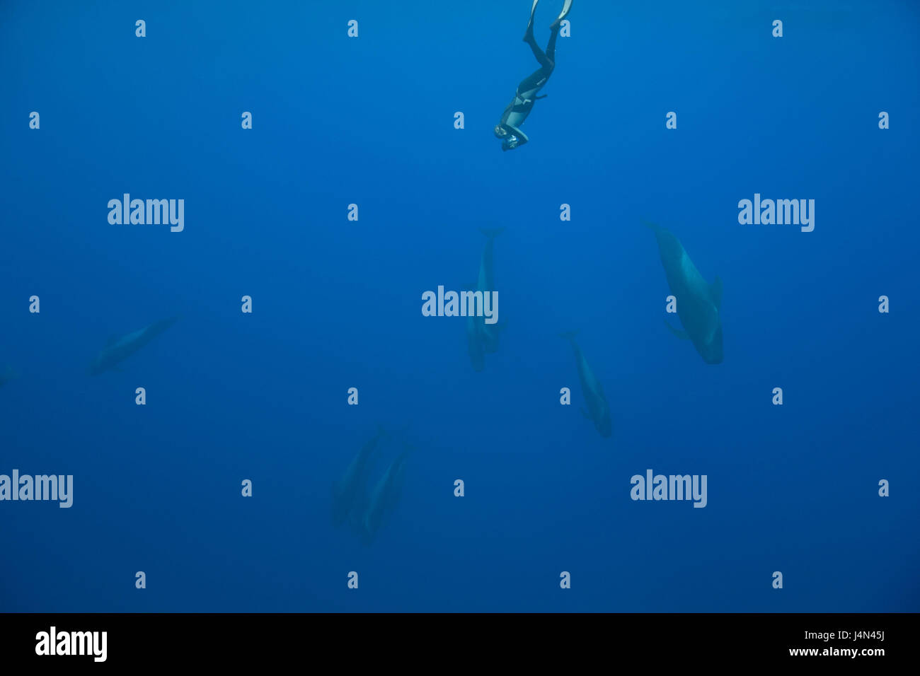 Diver, round head dolphins, - Stock Image