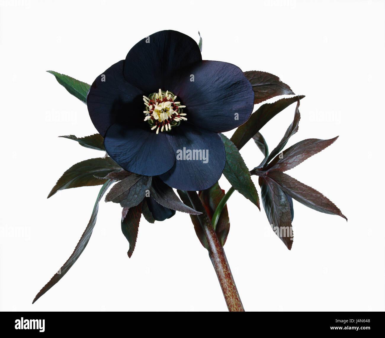 Christmas rose, name: Ballards Hybrid 'John Burbeck', - Stock Image