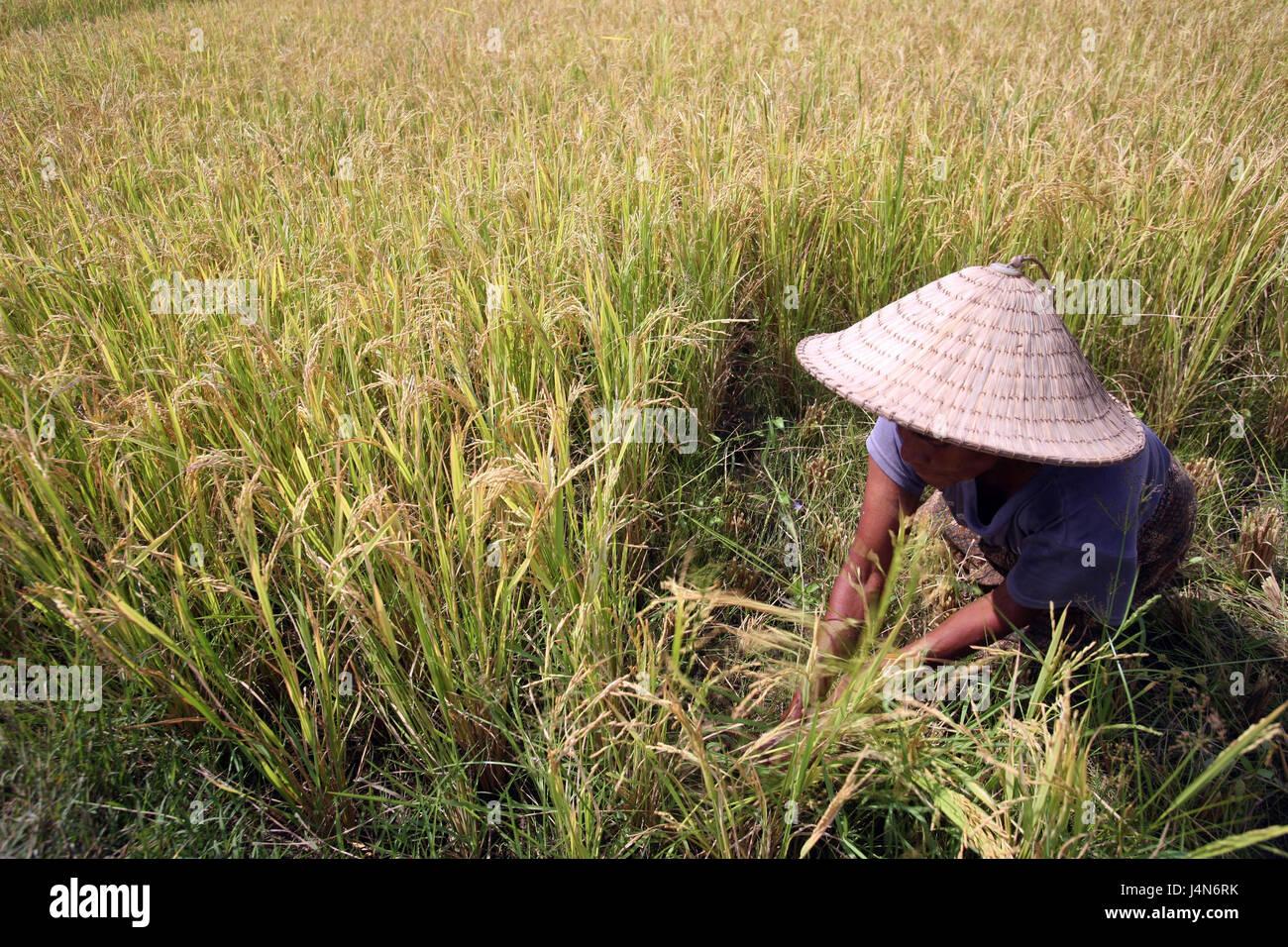 Democratic republic of Timor-Leste, Venilale, woman, work, travel field, - Stock Image