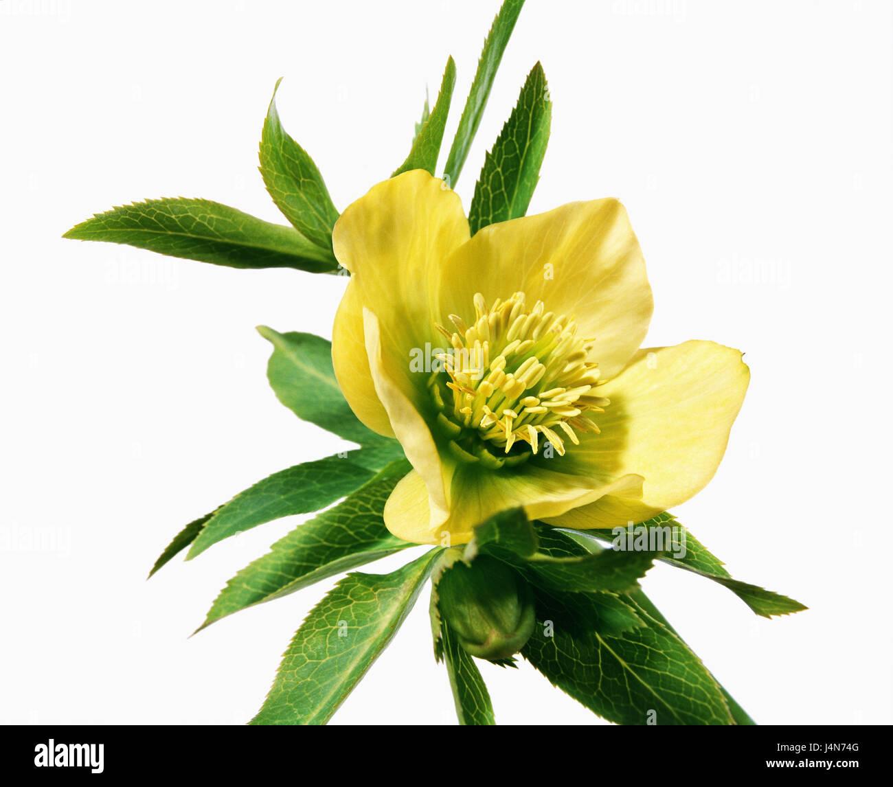 Christmas rose, name: Ballards Hybrid 'Ingot', - Stock Image