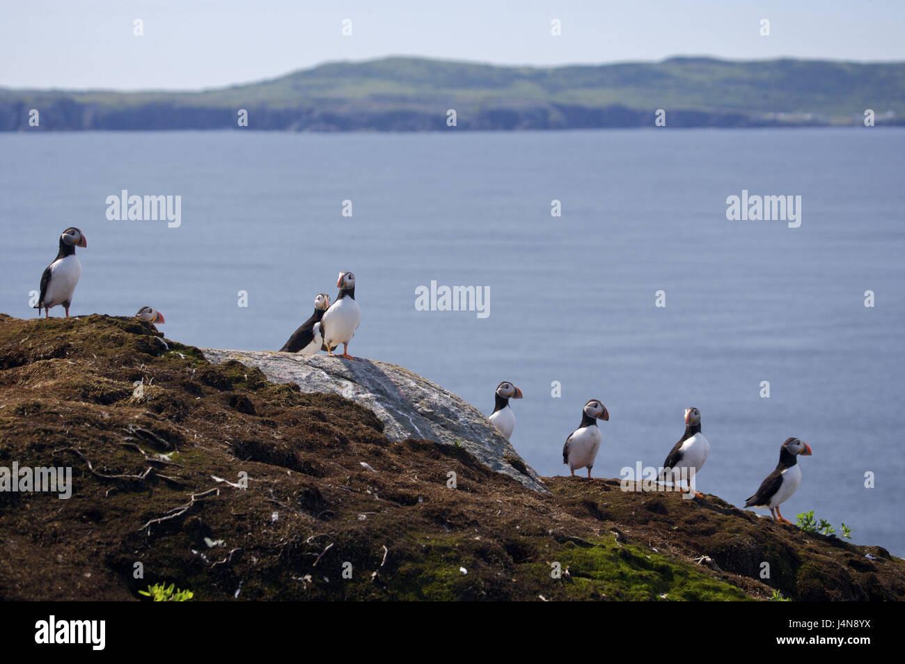 Canada, Newfoundland, Bonavista Peninsula, Vogel's colony, parrot diver, Fratercula arctica, - Stock Image
