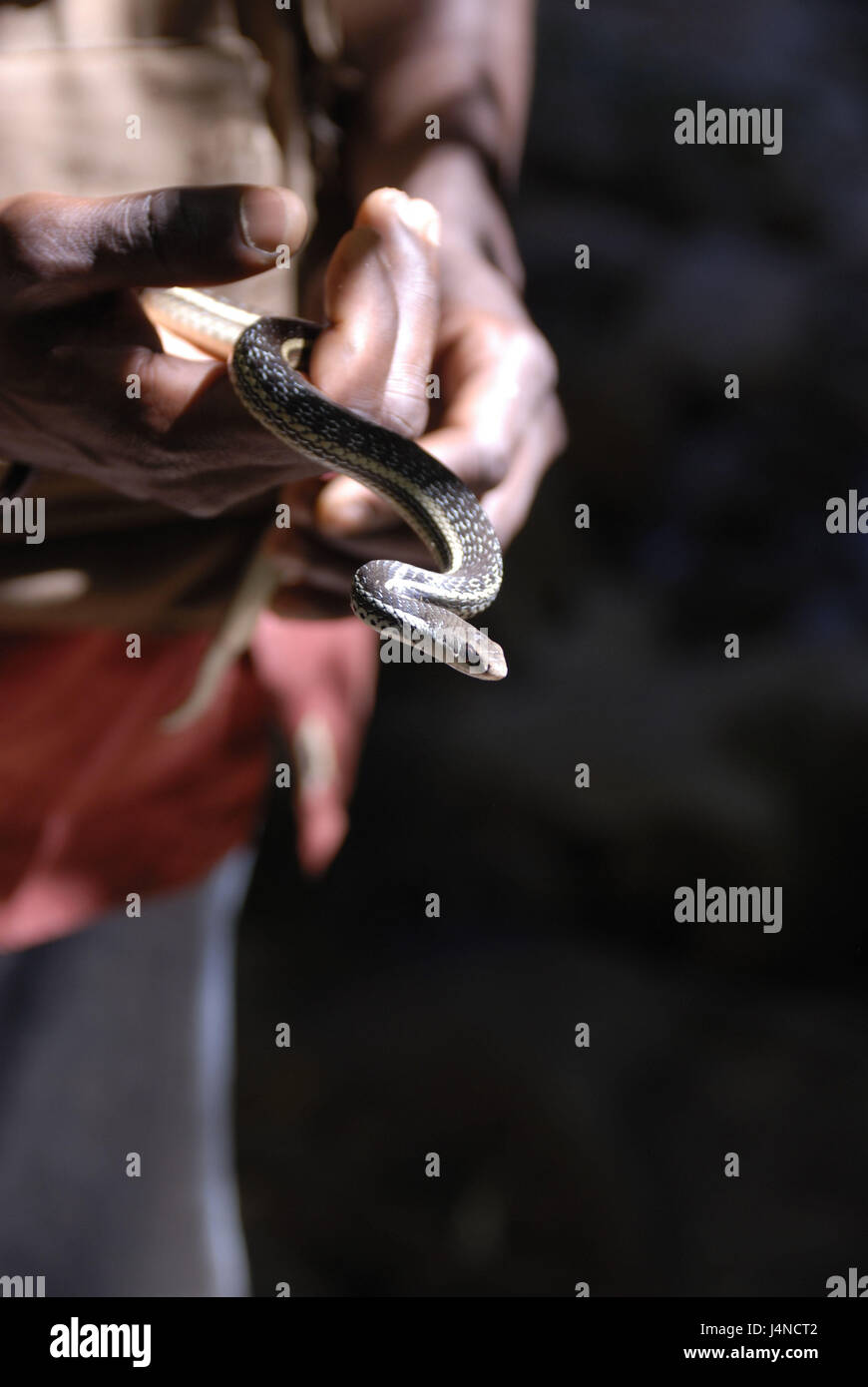 Man, guide, detail, hands, queue, adder, hold, Isalo Nationwide park, Madagascar, - Stock Image