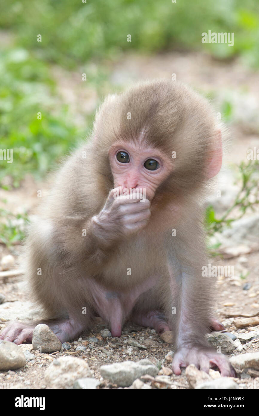 Japanese Macaque (Macaca fuscata) baby holding hand over mouth - Stock Image