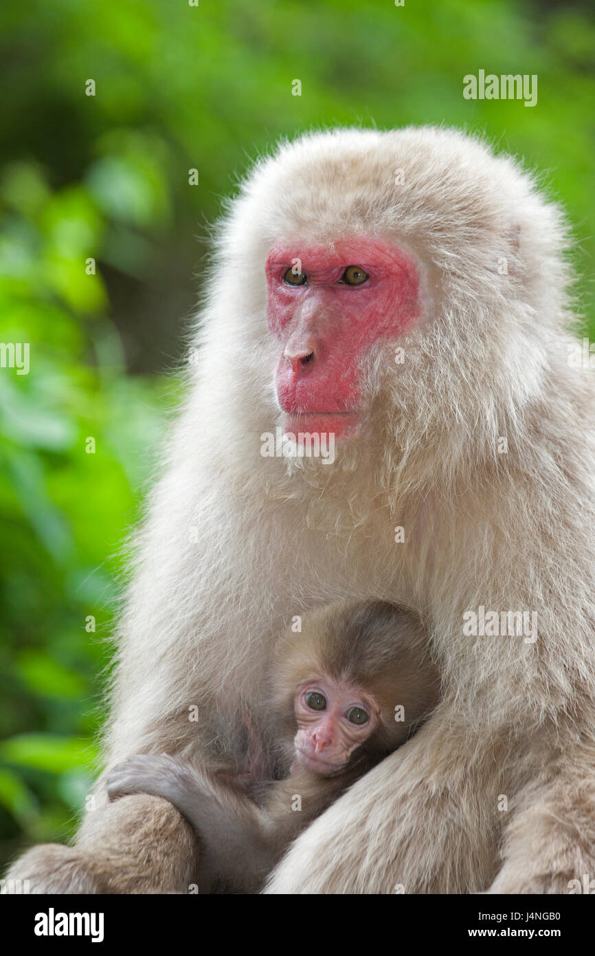 Japanese Macaque (Macaca fuscata) mother holding baby - Stock Image